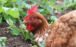 کود مرغی پلت شده