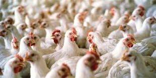 کودهای مرغی