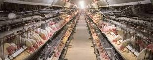 قیمت انواع کود مرغی قروین